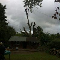 pollarding-Ash-tree-001