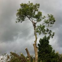 pollarding-Ash-tree-002
