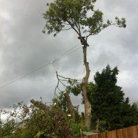 pollarding-Ash-tree-004