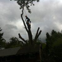 pollarding-Ash-tree-006