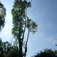 pollarding-poplars-005