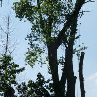 pollarding-poplars-010