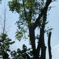 pollarding-poplars-012