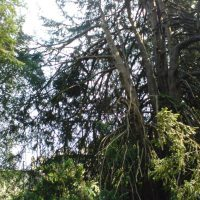 removal-of-wind-blown-yew-tree-008